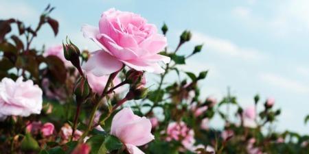 Kisah Bunga Mawar dan Pohon Bambu