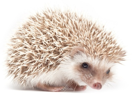 Filosofi Hedgehog